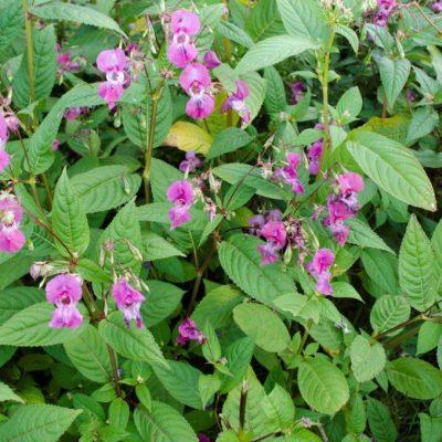 Himalayan Balsam Eradication weekend